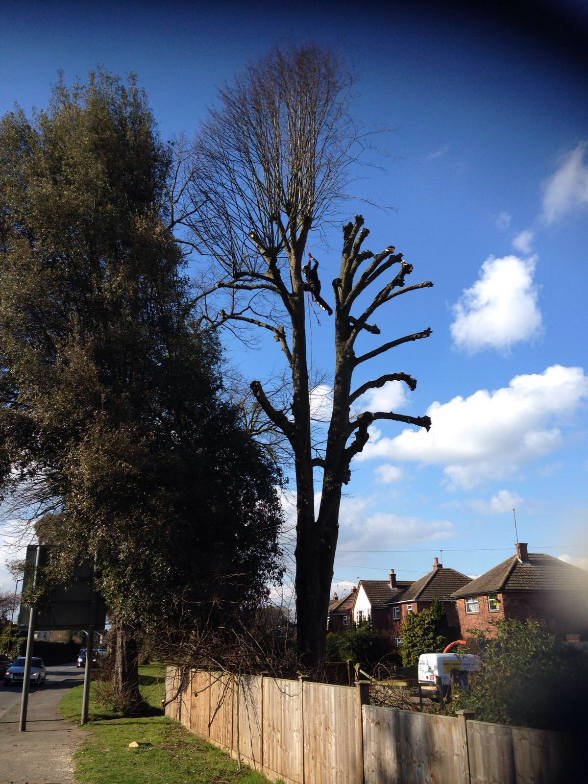 Greenacre Trees & Landscapes Ltd Re Pollarding of a lime.jpg