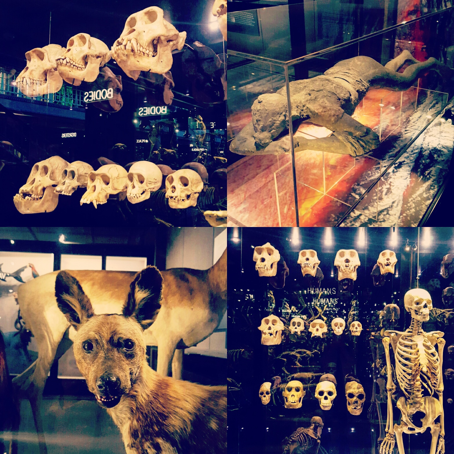 Top Left: Ape, monkey and human skulls.     Top Right: A body from the disaster of Pompeii.  Bottom Left: Collection of Mammals.              Bottom Right: Ape, monkey and human bones.