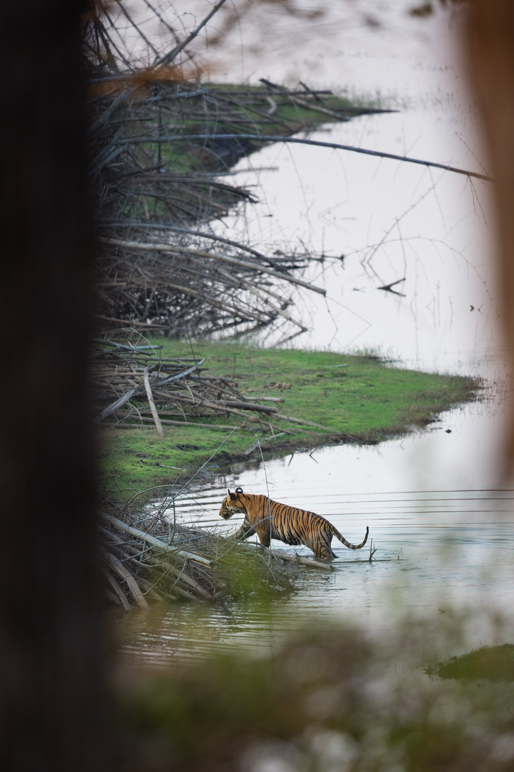 Tiger at Kabini.