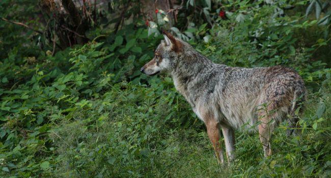 Gray wolf (Canis lupus) - Photo: Manon Batista. Source :    LPO website