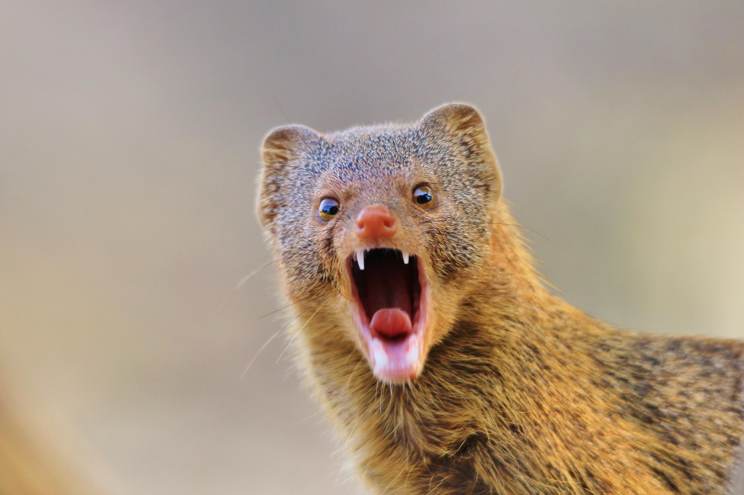 mongoose teeth-2.jpg