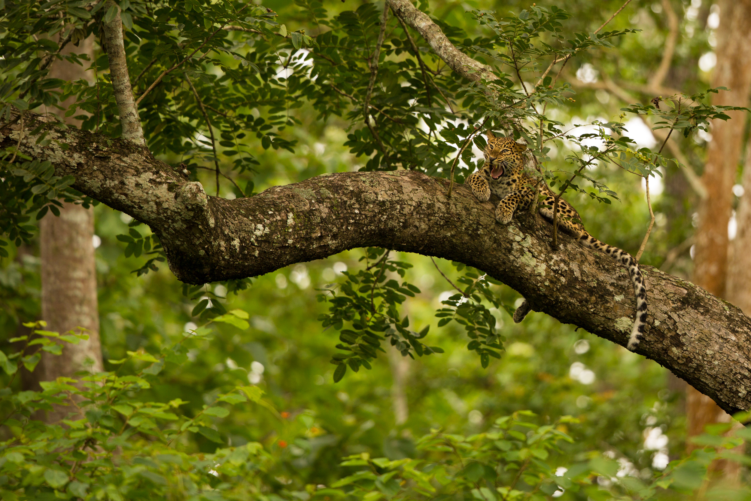 Now that I nailed the record shot, I focused, composed and waiting for the leopard to yawn... :)