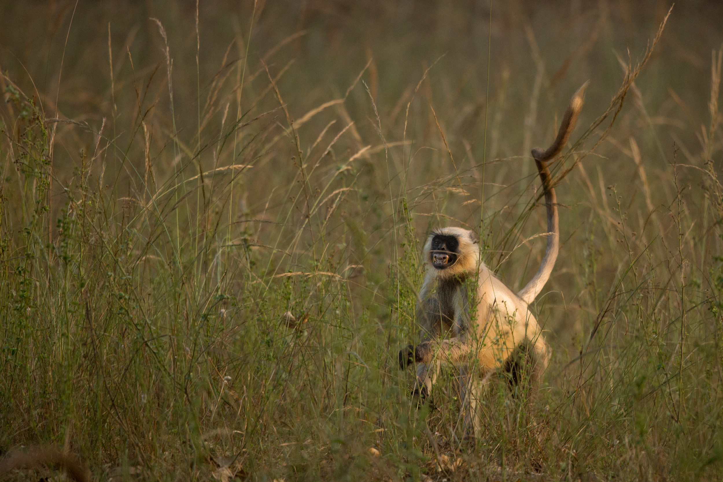 Grey Langur (Semnopithecus) running for the next tree cover. CLICK IMAGE for full screen.