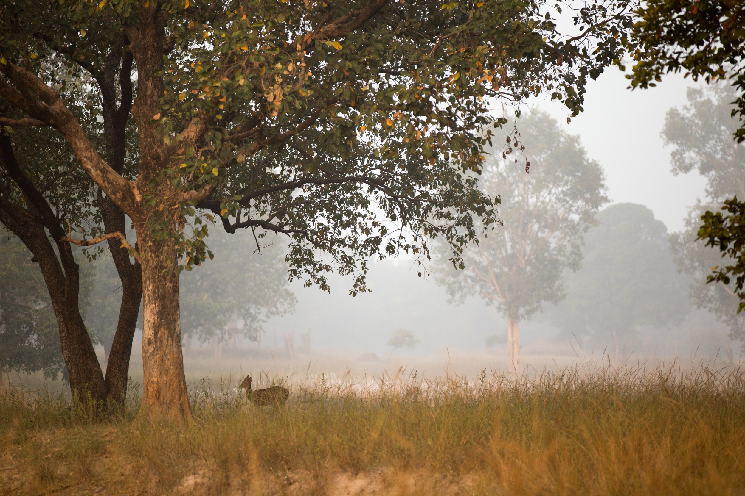 A lone Chital, or spotted deer (Axis axis) in a large open clearing.   CLICK IMAGE for full screen.