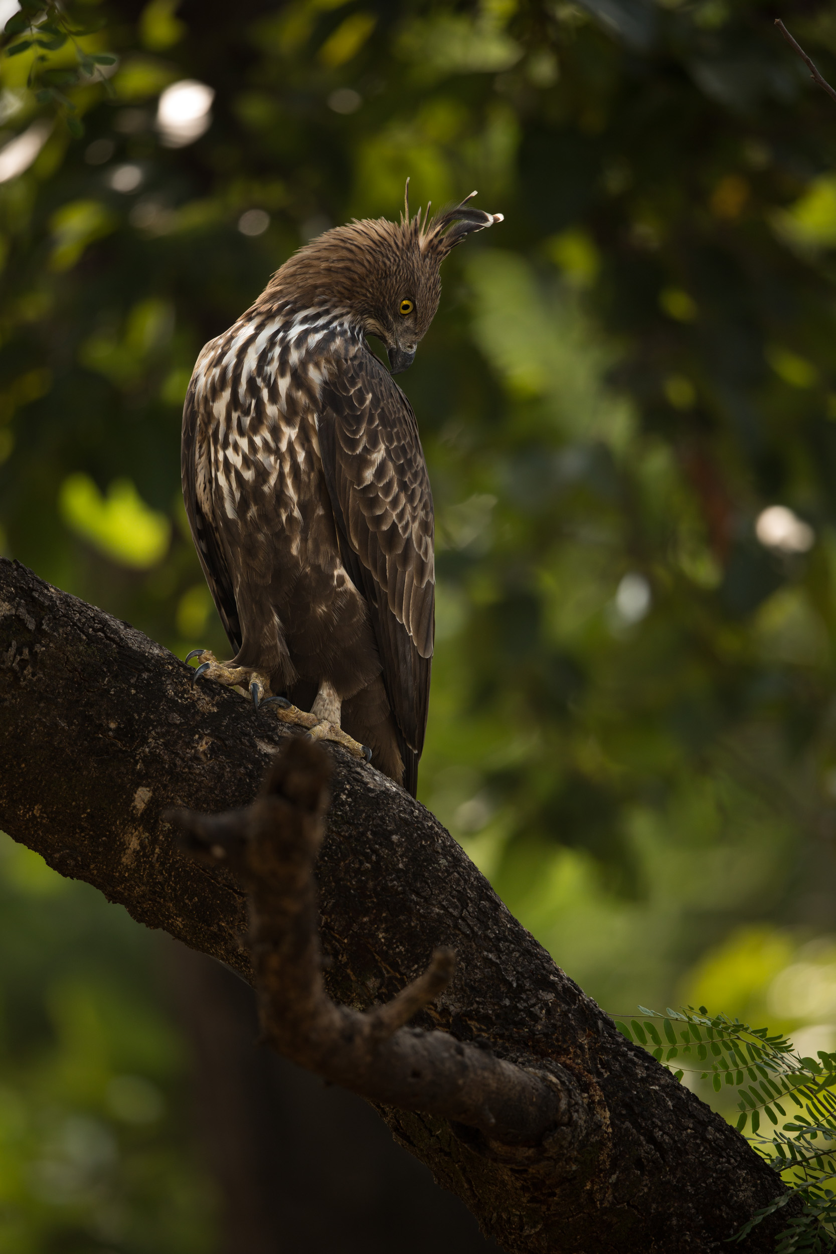 A Changeable hawk-eagle (Nisaetus cirrhatus) sits waiting, and watching for possible prey. CLICK IMAGE for full screen.
