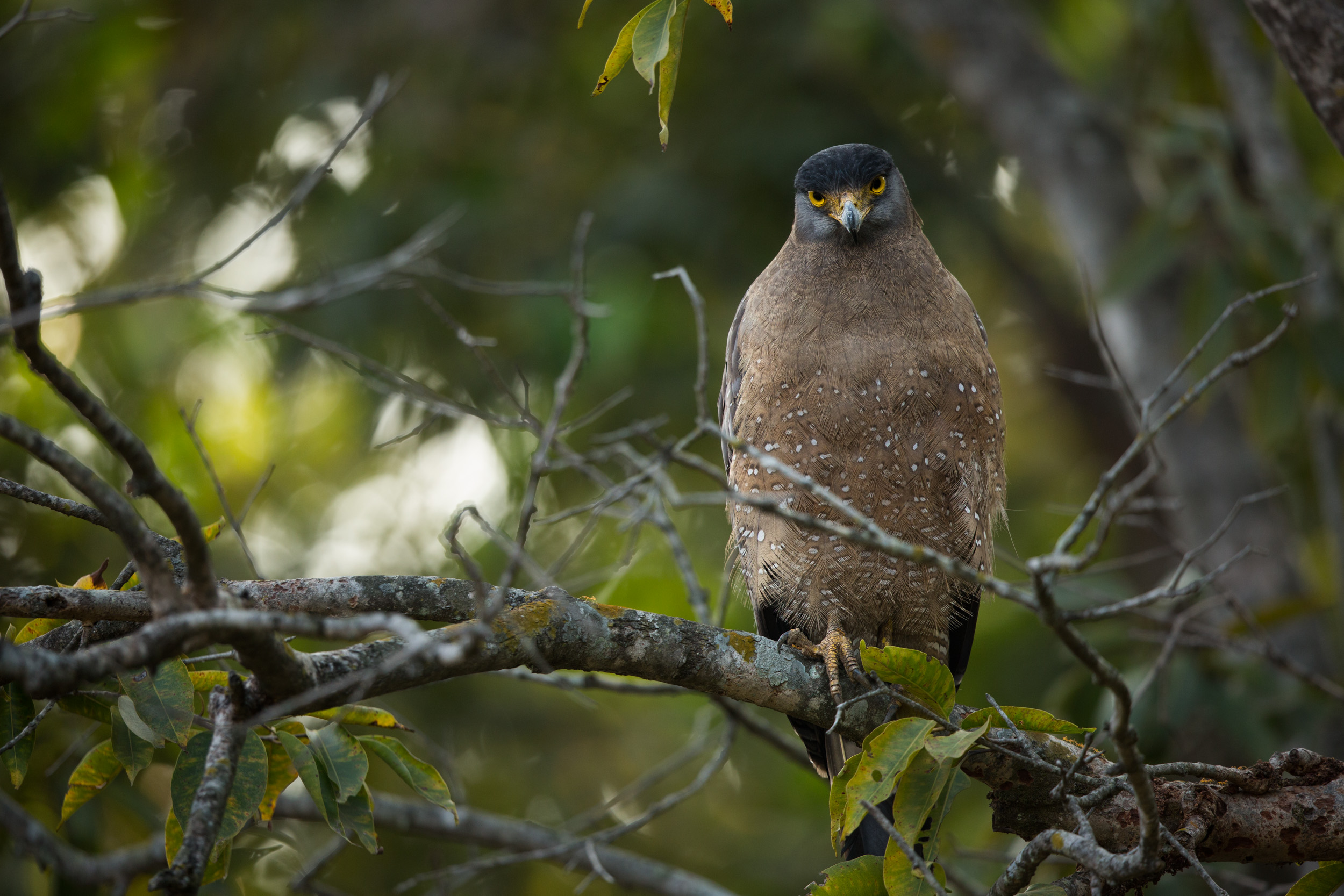 Crested serpent eagle (Spilornis cheela). CLICK IMAGE for full screen.