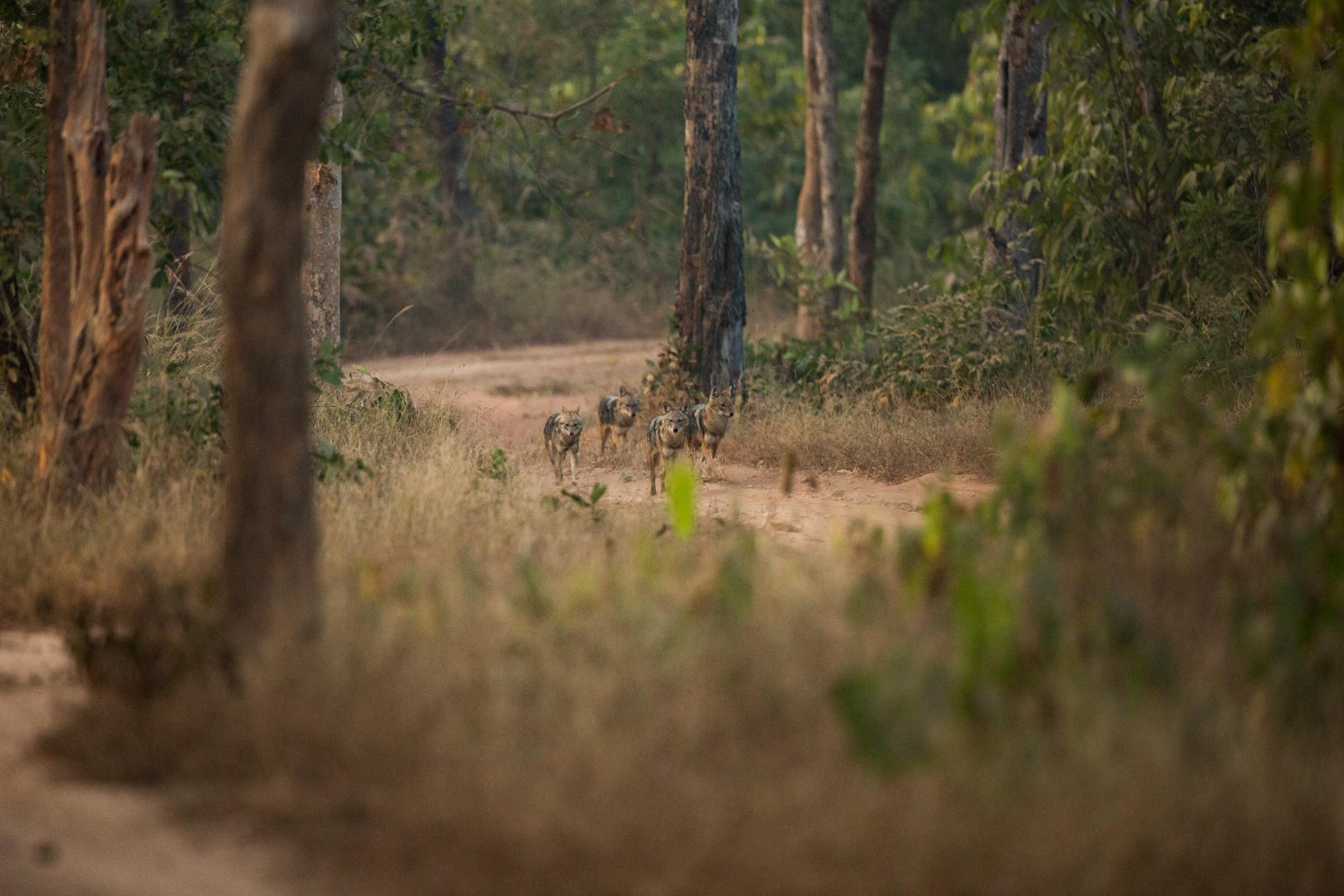Golden jackals (Canis aureus). CLICK IMAGE for full screen.