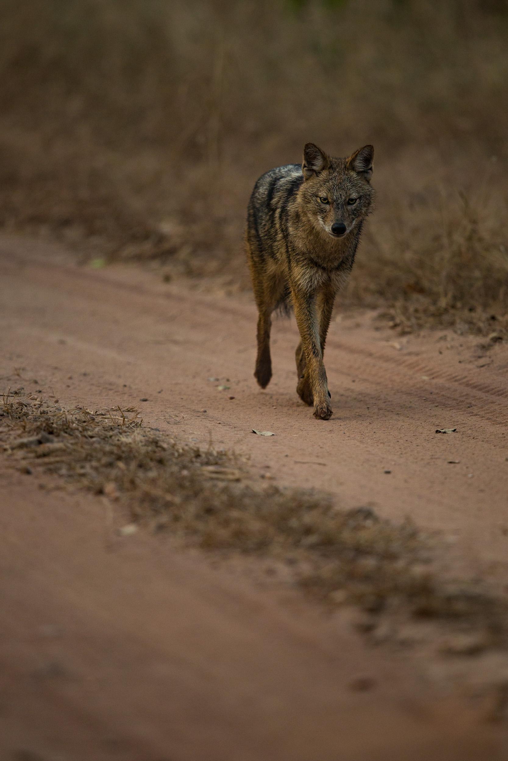 Golden jackal (Canis aureus).   CLICK IMAGE for full screen.