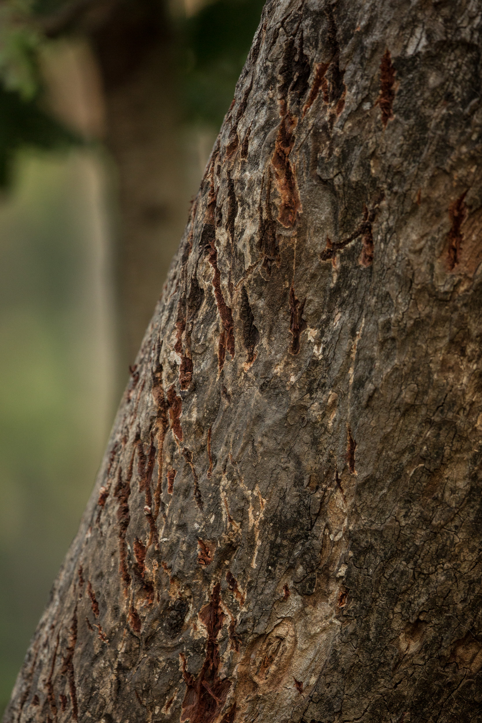 Tiger claw marks on a tree... we are truly in tiger territory. CLICK IMAGE for full screen.