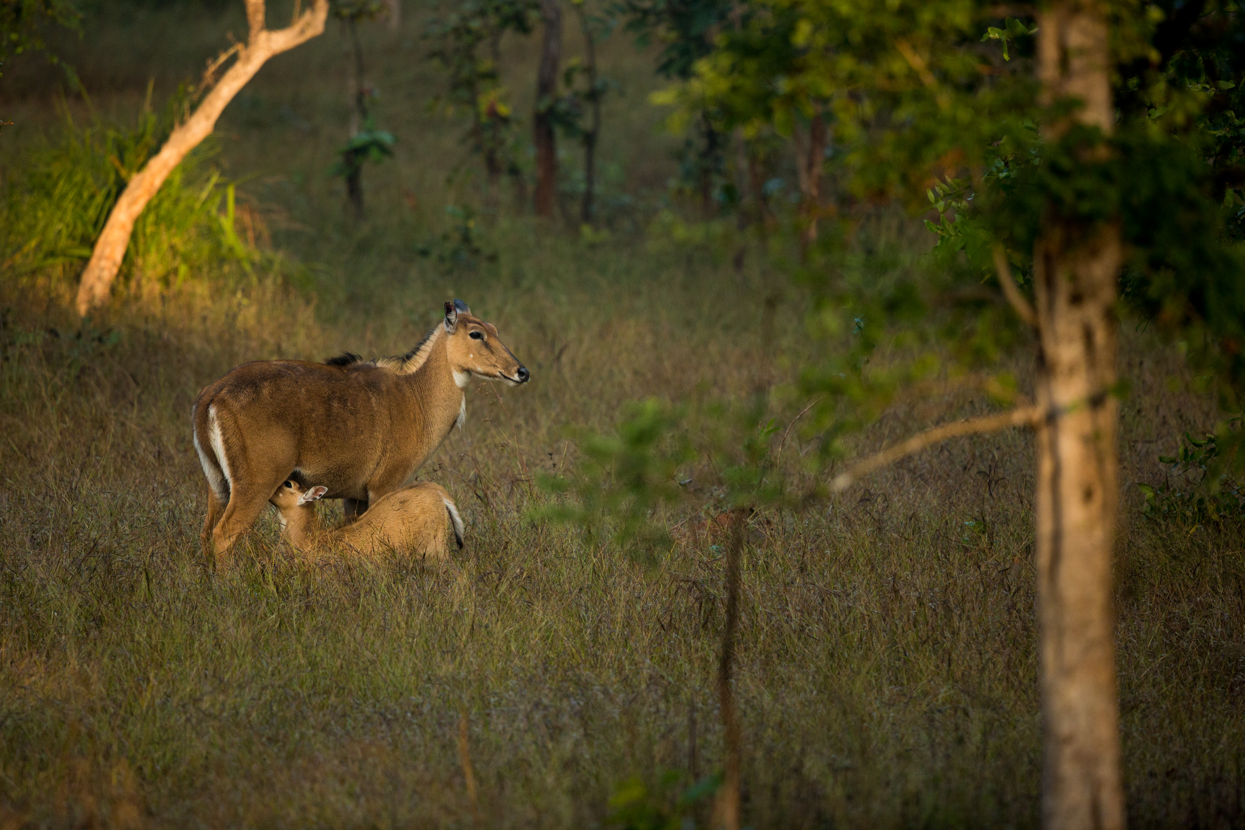 A Nilgai (Boselaphus tragocamelus) mother and calf feeding.   CLICK IMAGE for full screen.