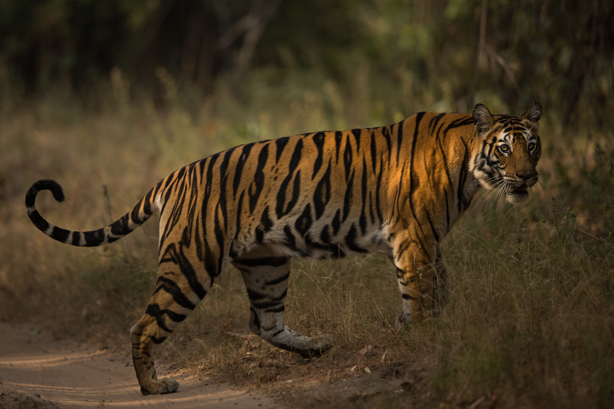 Tigeress (Panthera tigris) crossing.   CLICK IMAGE for full screen.