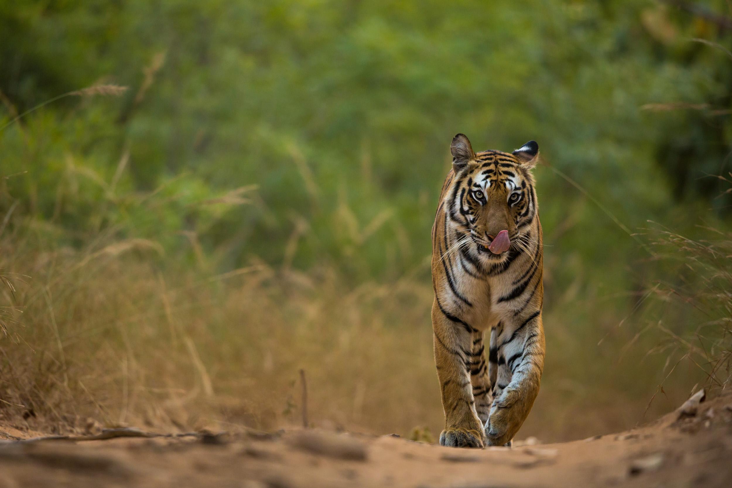 Tiger (Panthera tigris). CLICK IMAGE for full screen.