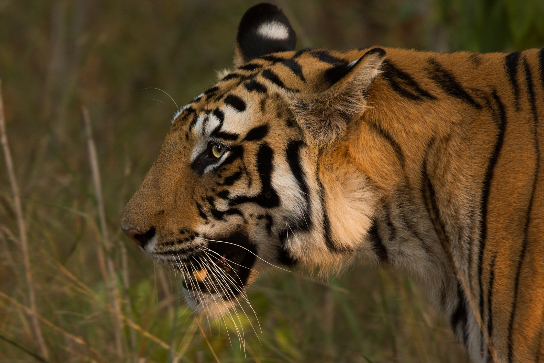 She emerged from the bamboo, striding right past our jeep. This is her land, her territory, and we are nothing to her. Tiger (Panthera tigris). CLICK IMAGE for full screen.