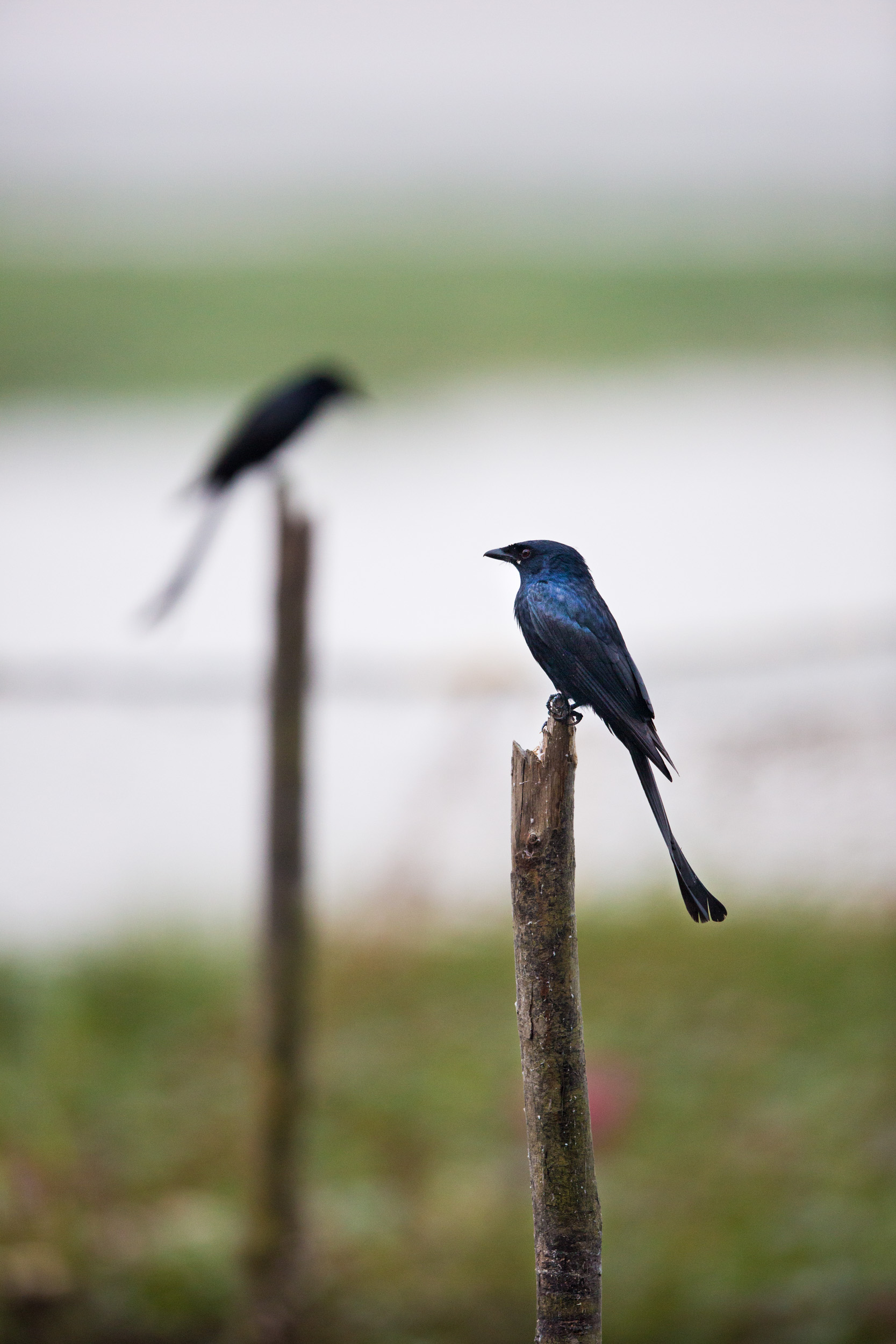I focused on the stick to get the best focus of the Drongo!