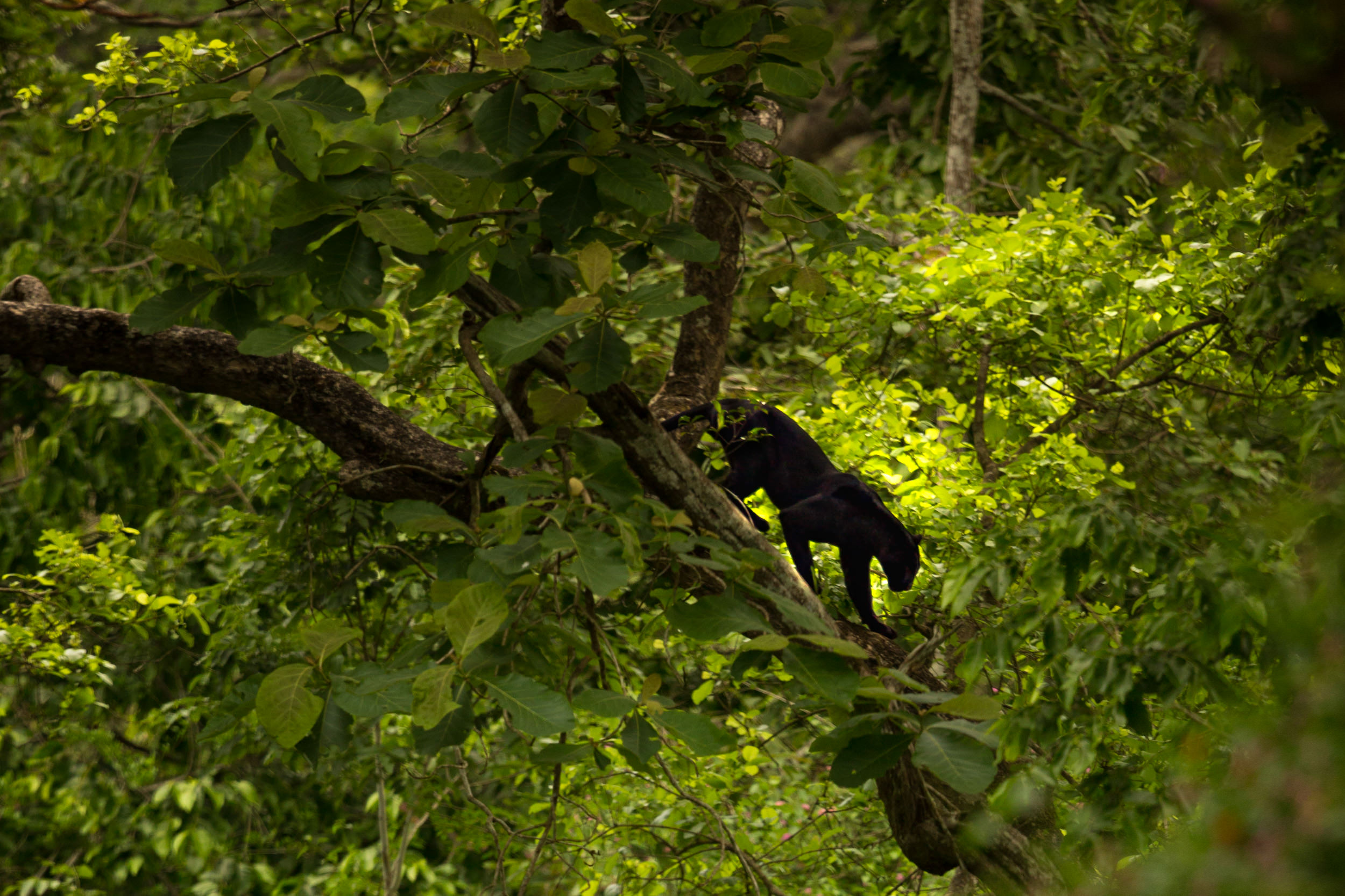 This black panther was taken in a bus. It allowed me to get up high and get the eye-level angle.