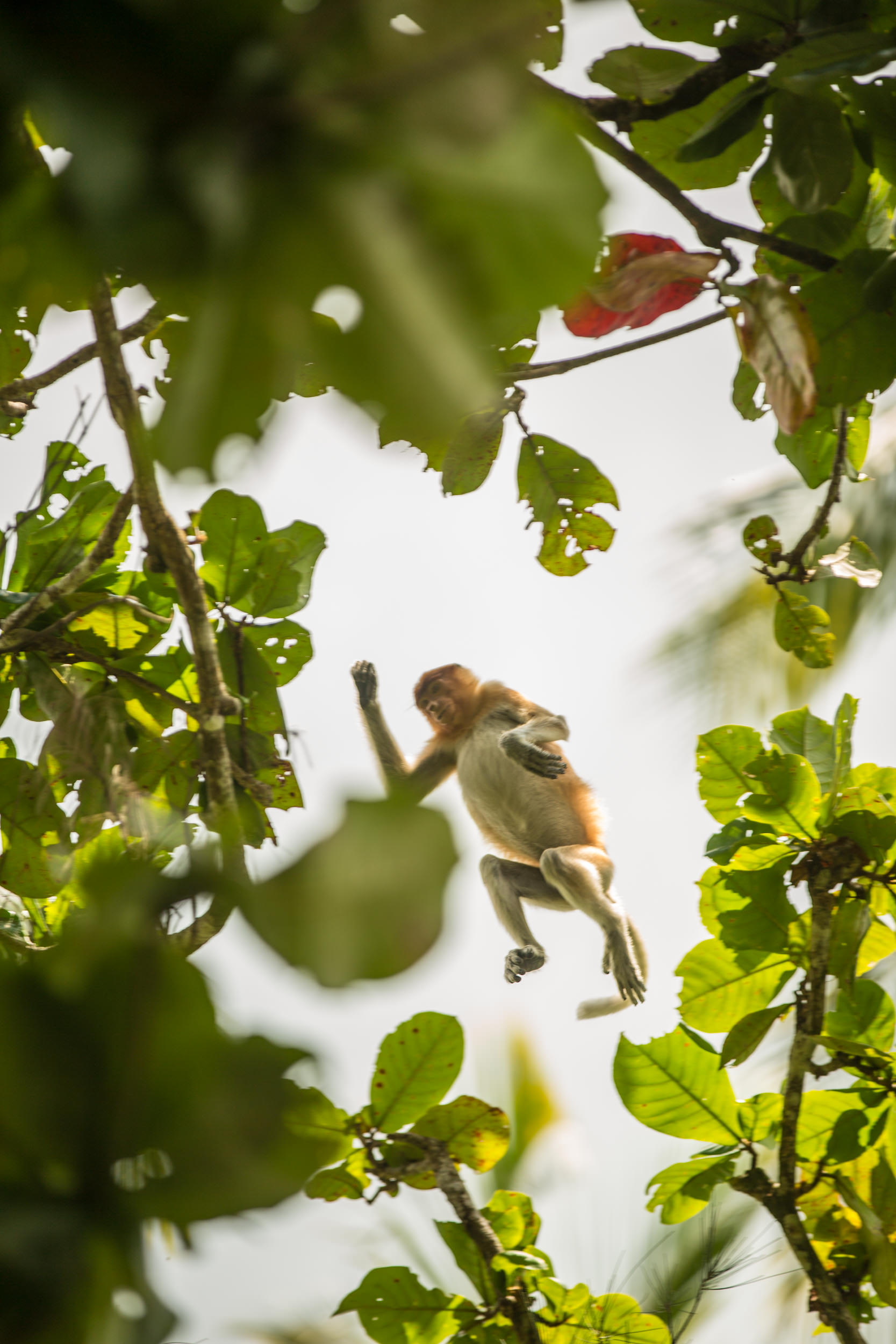 A proboscis monkey leaps between trees in the canopy.