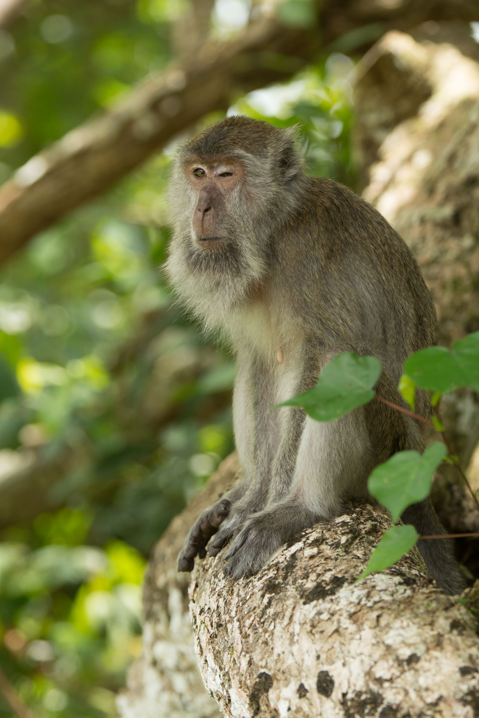A long-tailed macaque sits on the roots of a tree after savaging on the ground.