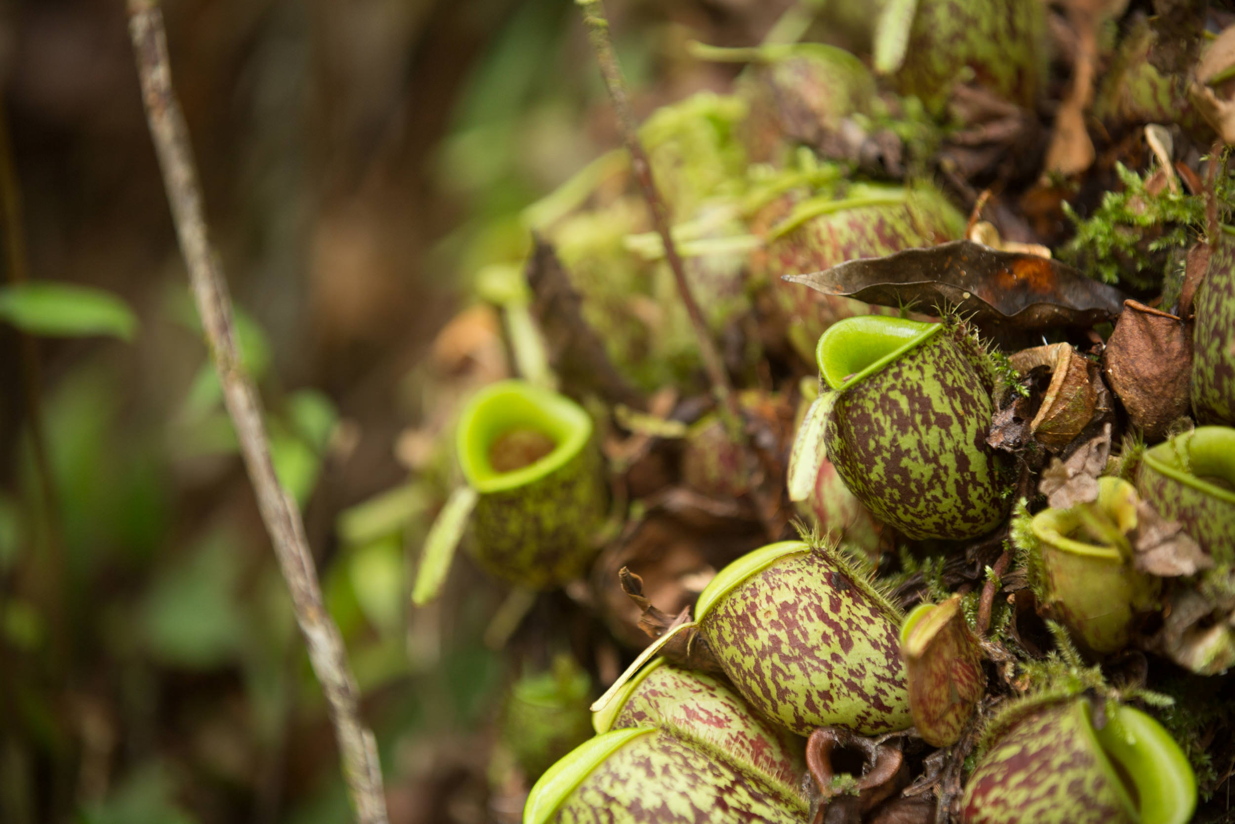 Carnivorous plants can be found in less dense areas.