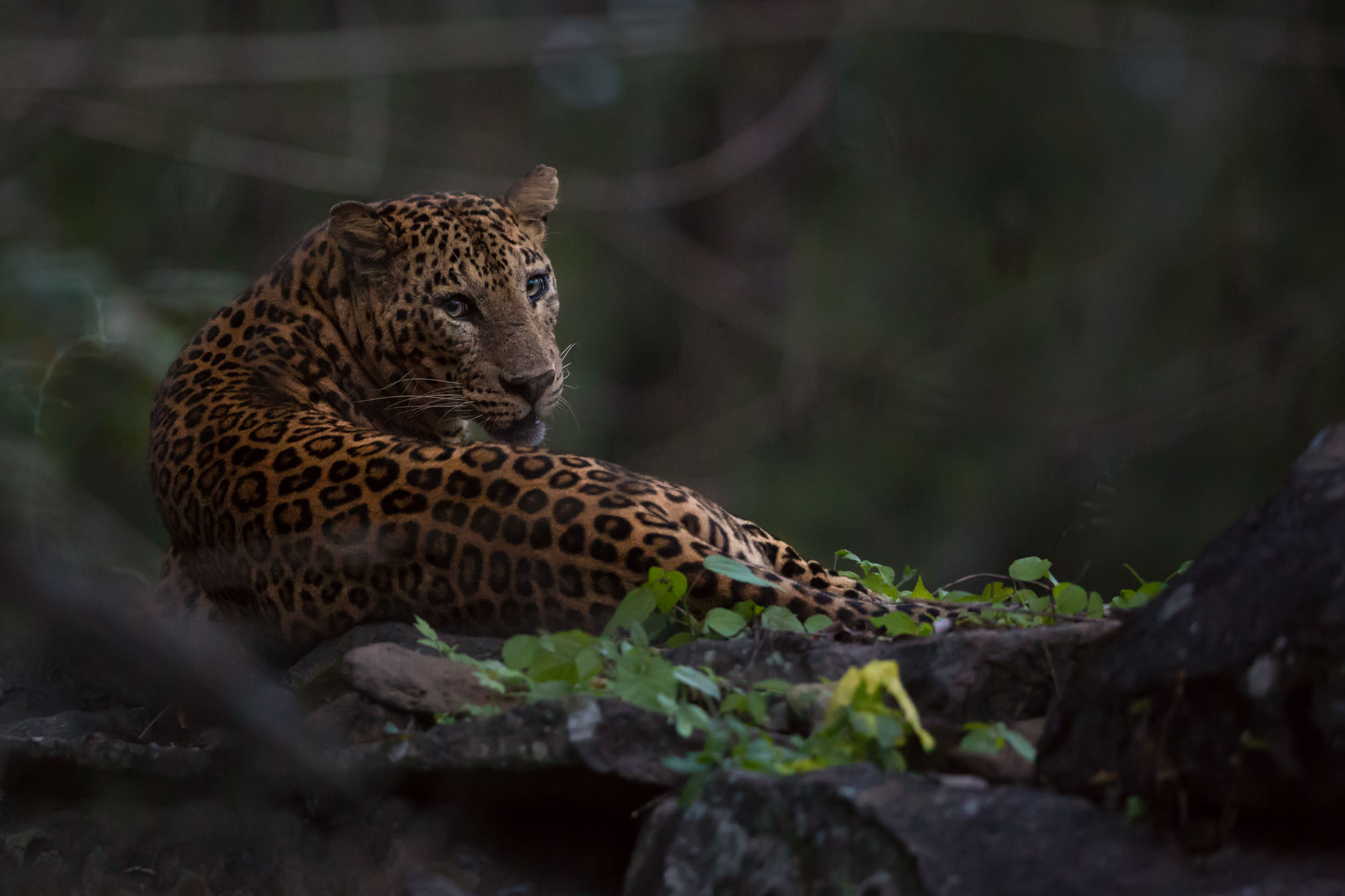Here is my favorite example... I had less than 30 seconds at the end of a safari in dark conditions to shoot a leopard sat on a temple!     f/4, 1/250, ISO 12,800!!!