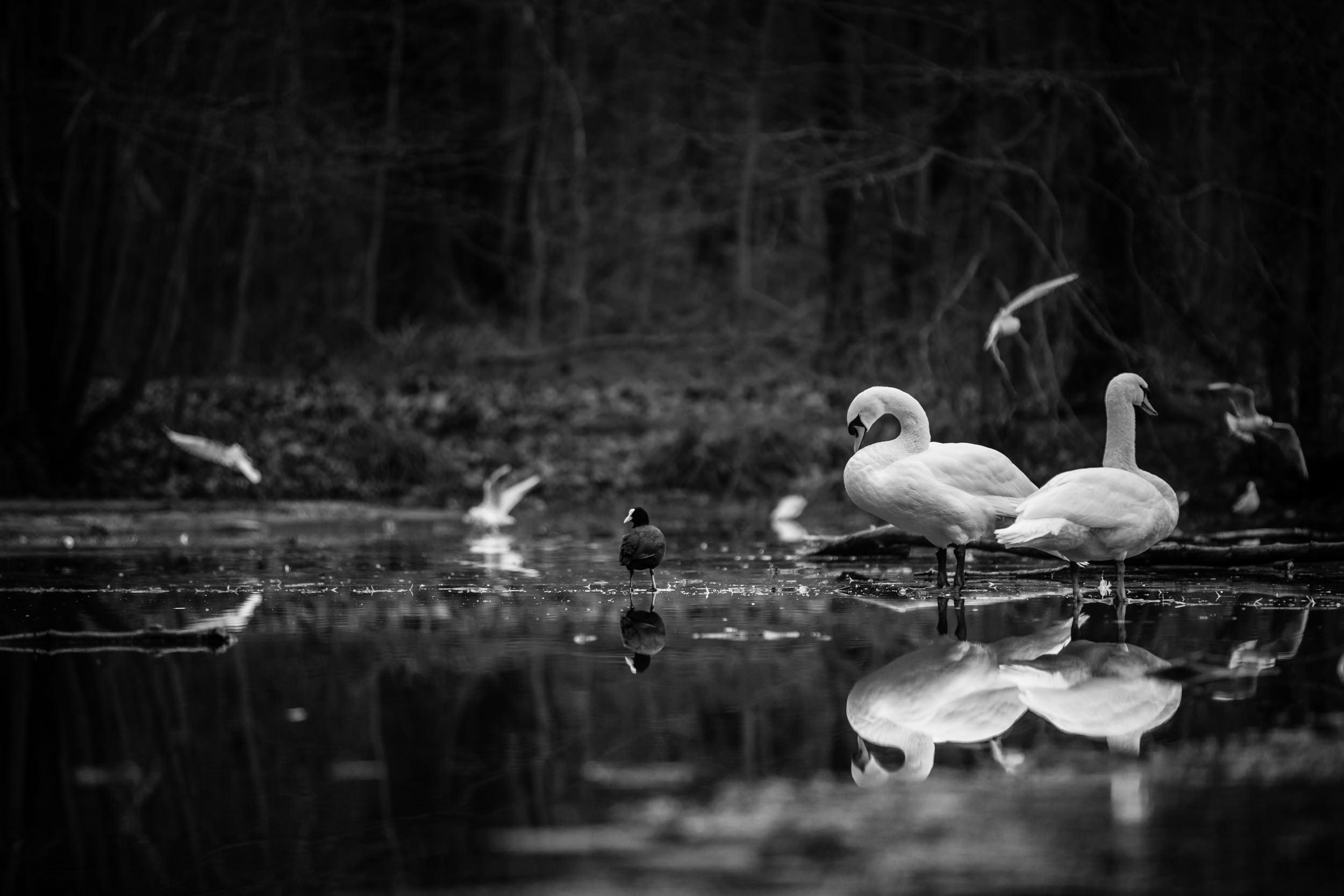 Swan (on frozen) lake
