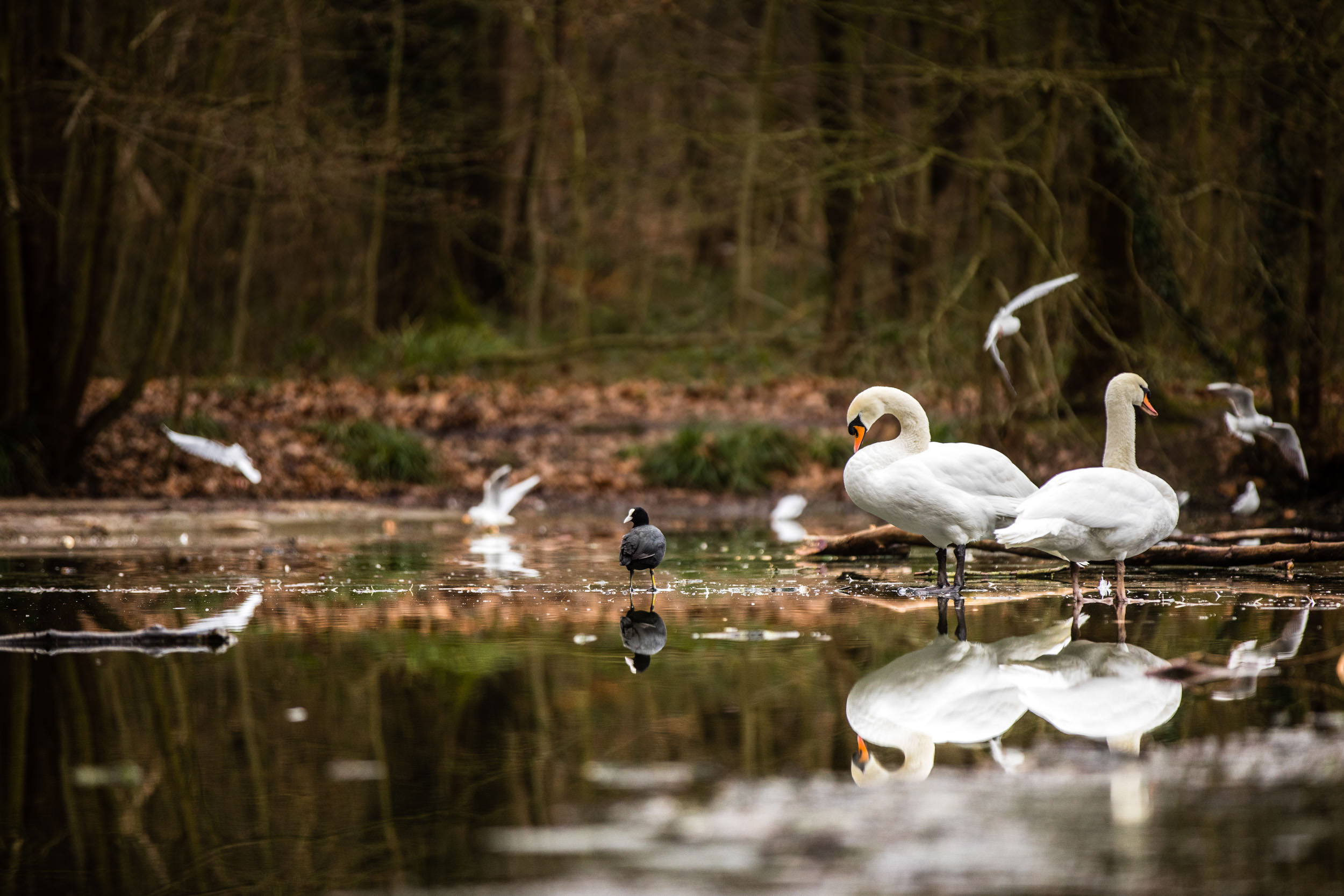 Mute Swans on a frozen lake in a park close to my apartment in Paris, France.