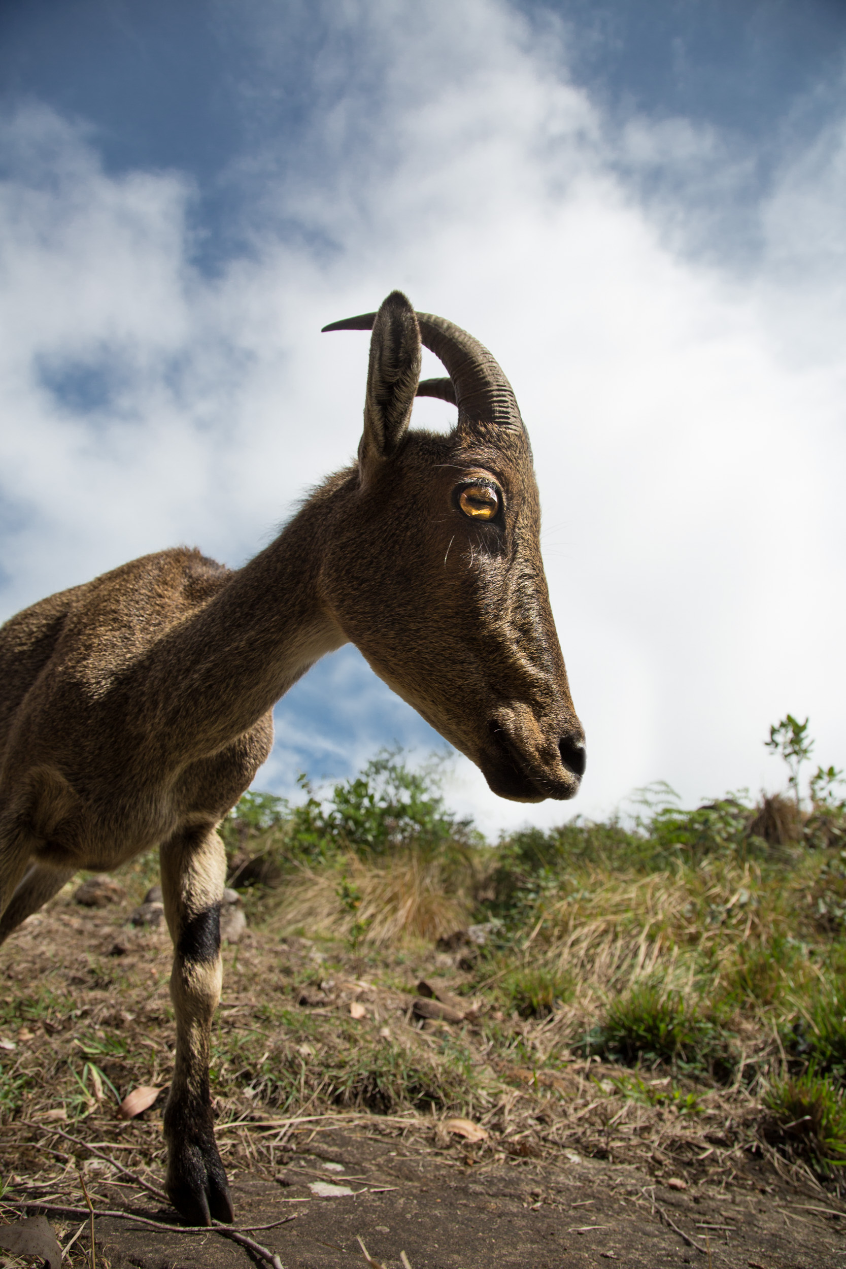 16mm shot with a remote... just left my camera in the path of the Tahr and hoped it would come that way.