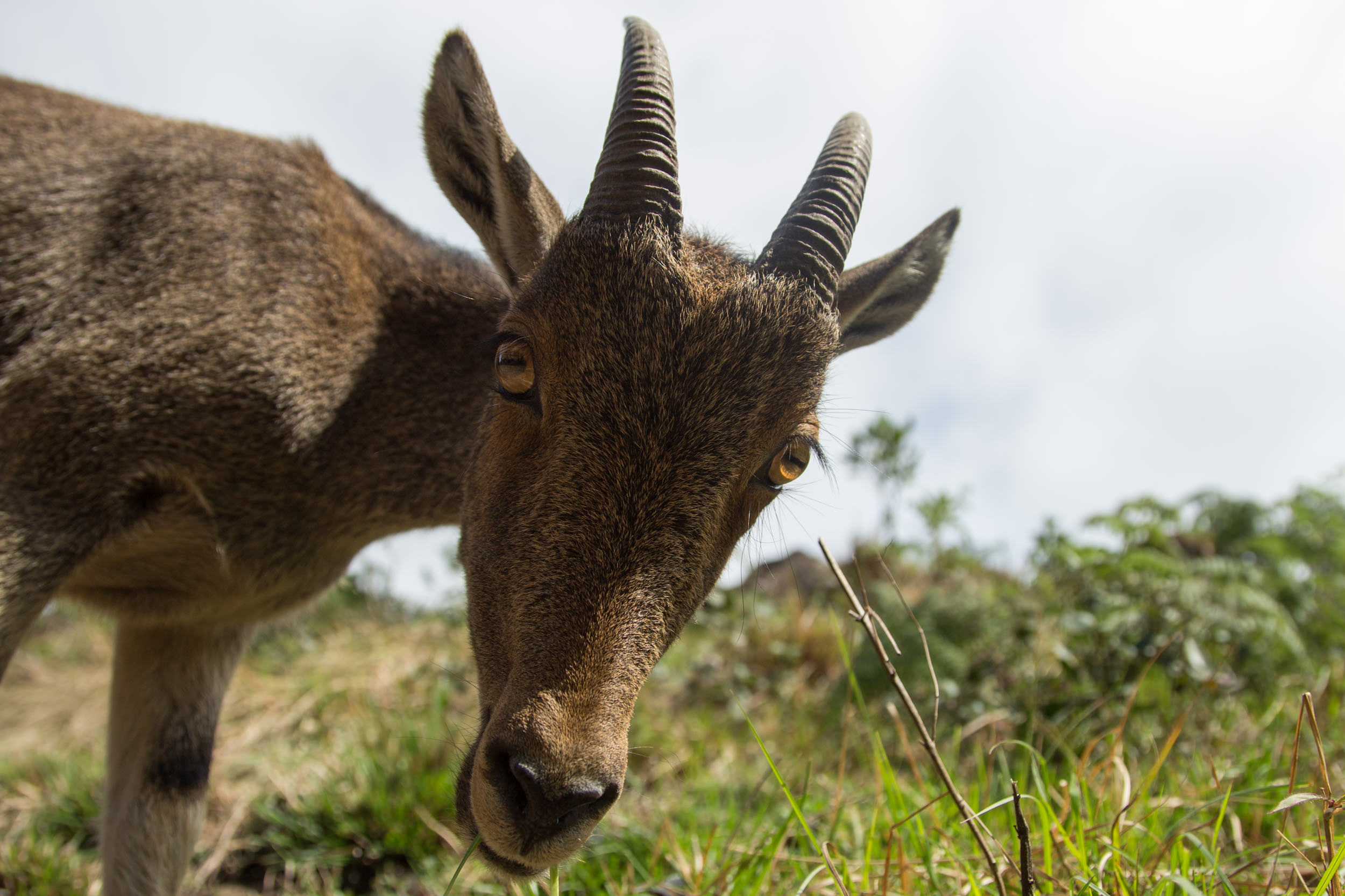 The Niligiri Tahr is just one of them. I've never been so excited to see a goat before now! :)