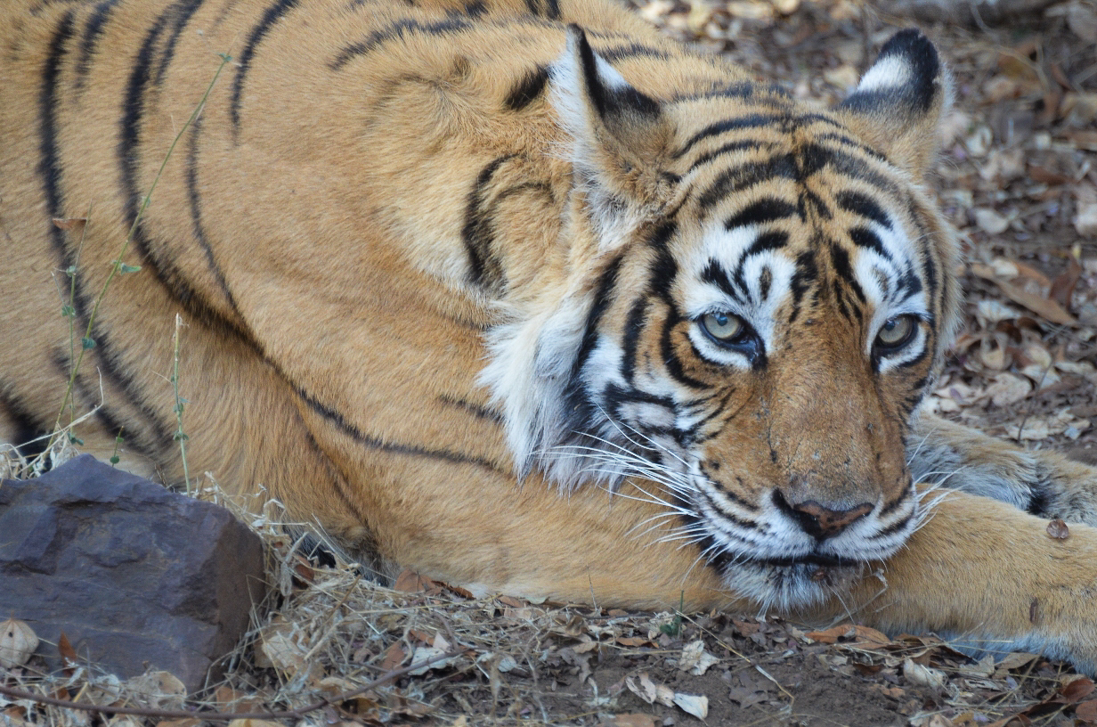 The Great and Mother of all. Machhali the Tigress.   Copyright Sharad Sharma (with permission)