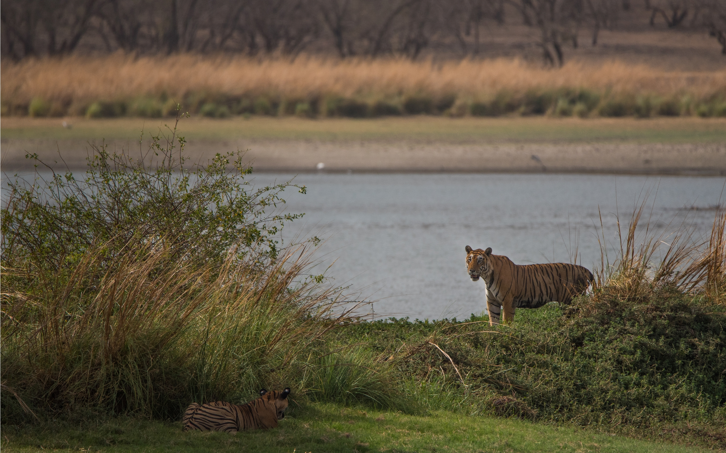Father T28 (Starmale) and son T85 (Pacman) sizing up each other at Legendary Rajbaug Lake.