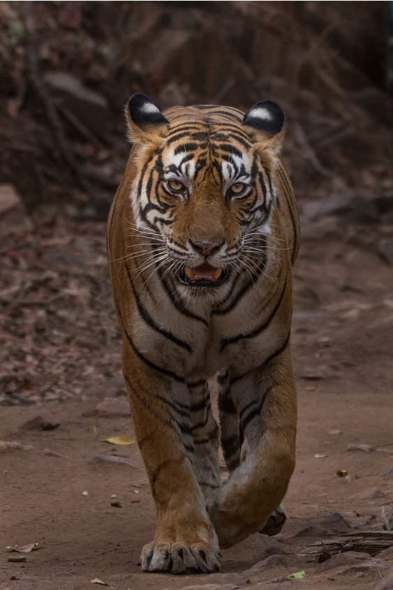 My all-time favorite Tigress, Noor (T 39).