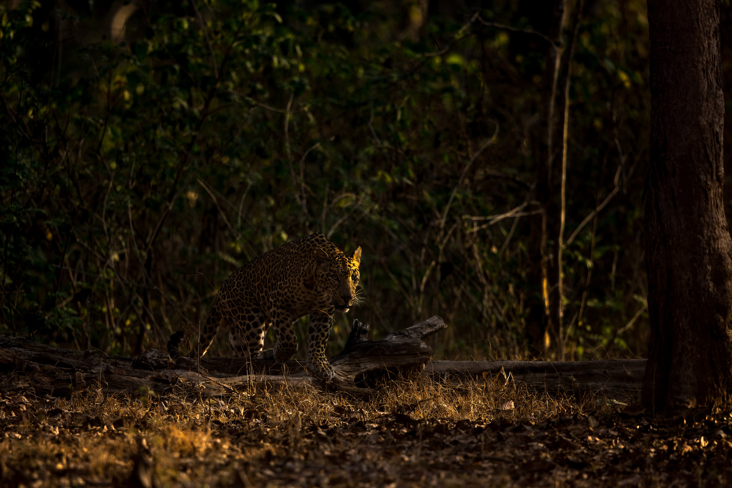 The leopard emerged from the shaded cover to harsh morning light. I dropped the exposure and made a dramtic scene.