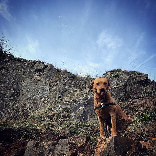 #latergram (is that still a thing?) dog walk with friends, this one is happiest when soaking wet and up a cliff!  #dog #dogsofinstagram #foxred #labrador #pet #dogwalk #climbingpets #climbing #somerset