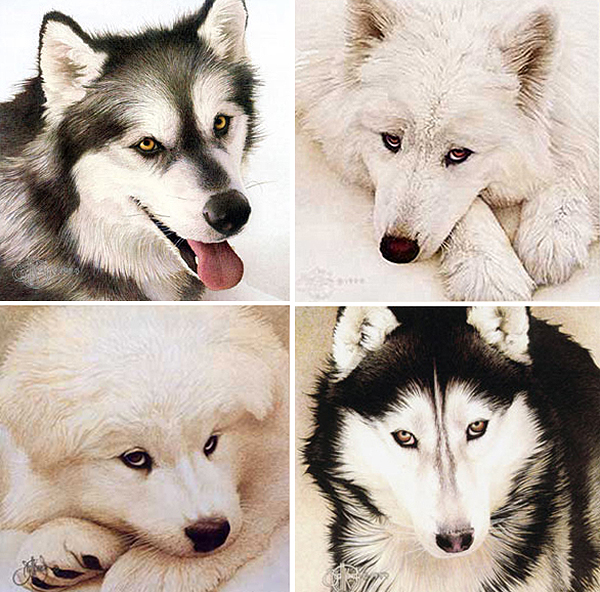 "Companions Series Portraits - Limited edition prints published on fine art paper. Series includes ""Alaskan Malamute"", ""Samoyed"", ""Samoyed Pup"" and ""Siberian Husky"". Individual image sizes approx. 9""x9"". Prices vary depending on image and availability.   *Samoyed Pup"" is SOLD OUT"