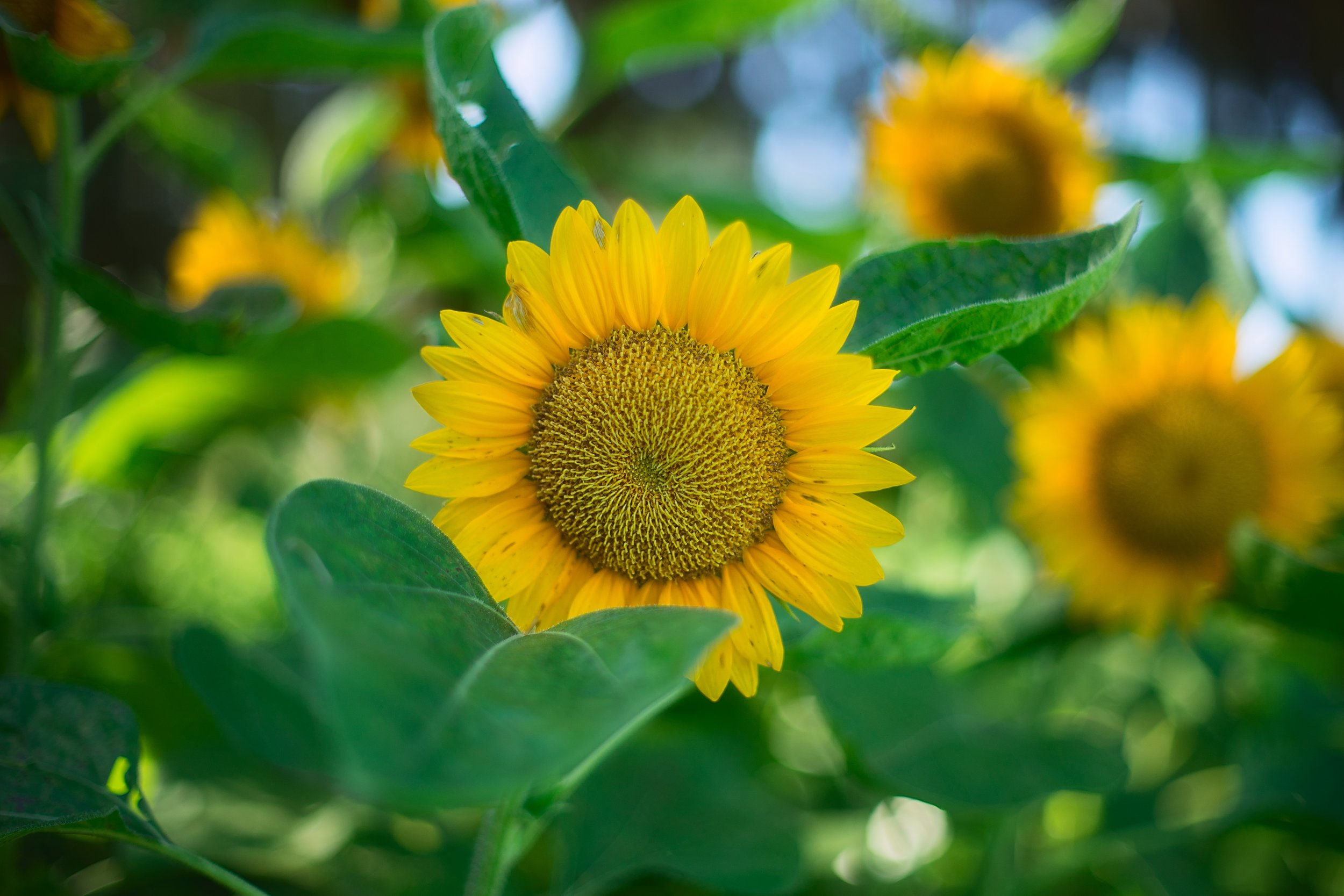 Sunflowers are such happy flowers…