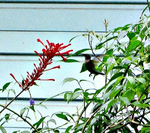 Hummingbird in Mary's garden
