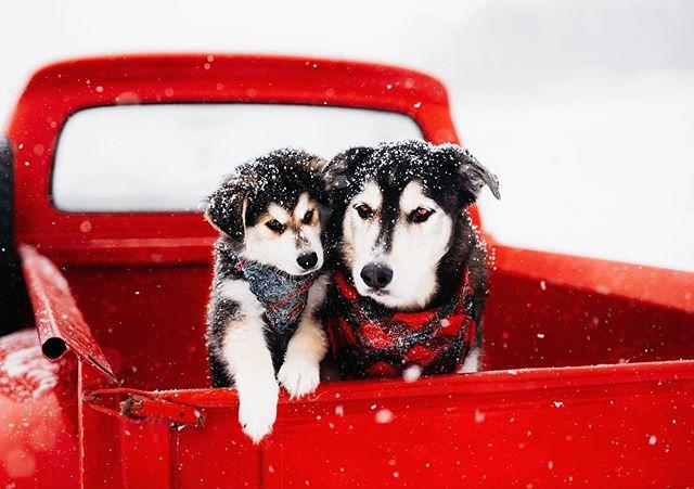 My sweet boys. ❤️ #goberian #husky #goldenretriever #goldenretrieverpuppy #huskypuppy #vintagetruck #redtruck #fordtruck #ford #hootandco