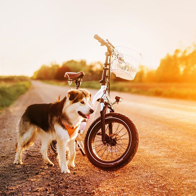 this dog has endless energy but also provides endless snuggles, so it's cool 🚲🐕 #radmini #riderad #radpowerbikes #husky #huskymix #goberian