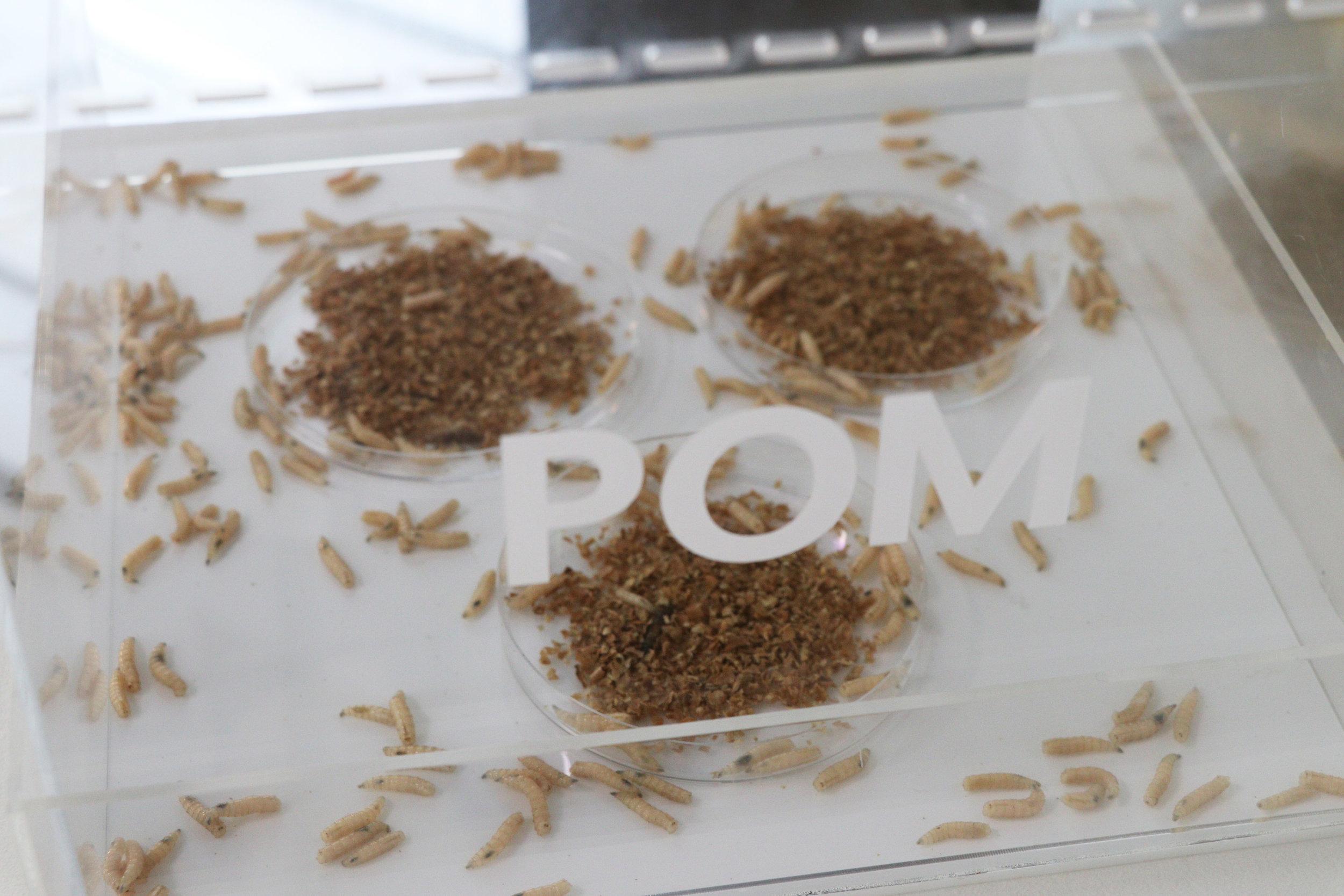 Copy of POM_Larvae.JPG