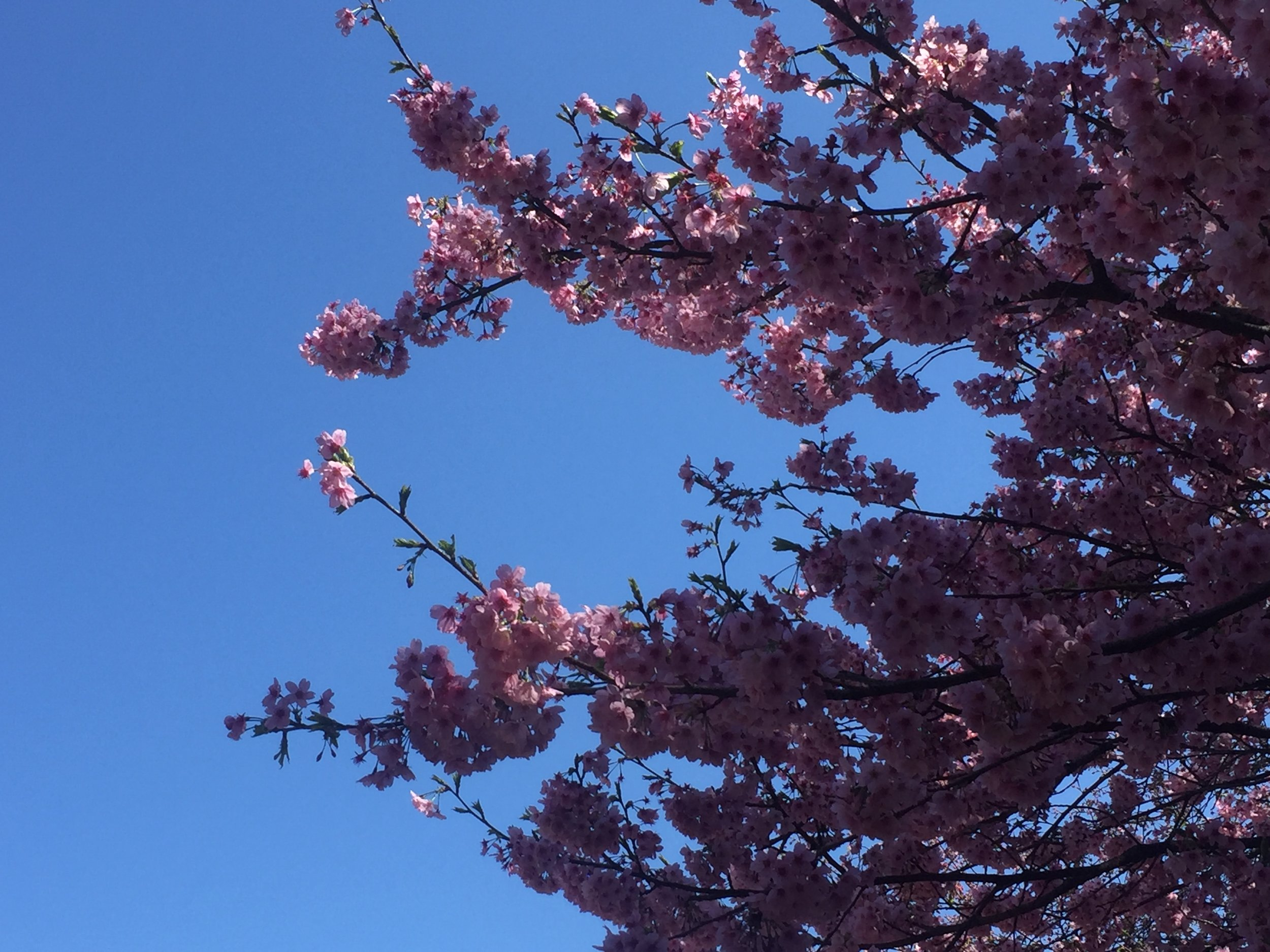 shinjuku cherry blossoms.JPG
