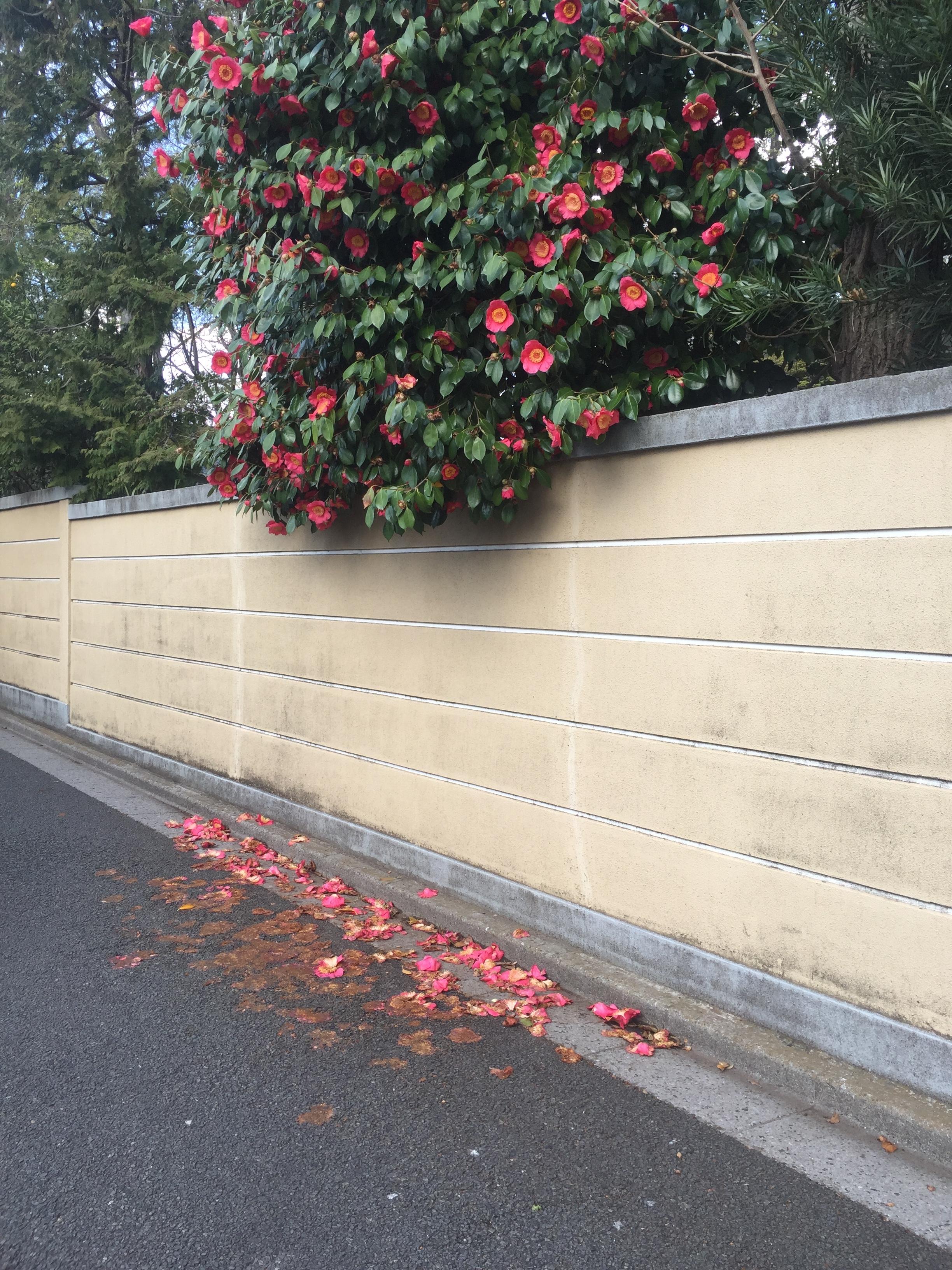 shin koenji blossoms.JPG