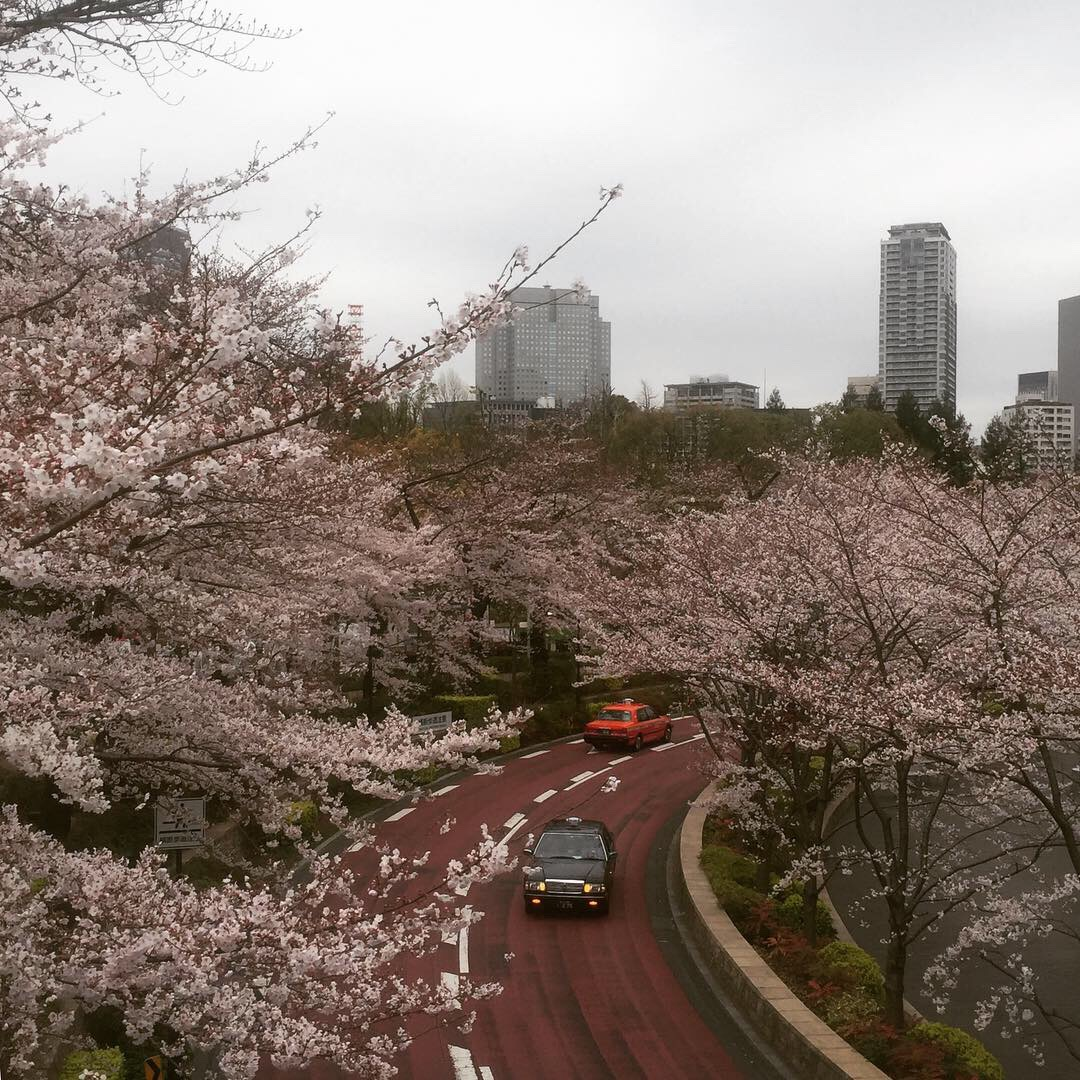 roppongi cherry blossoms.JPG