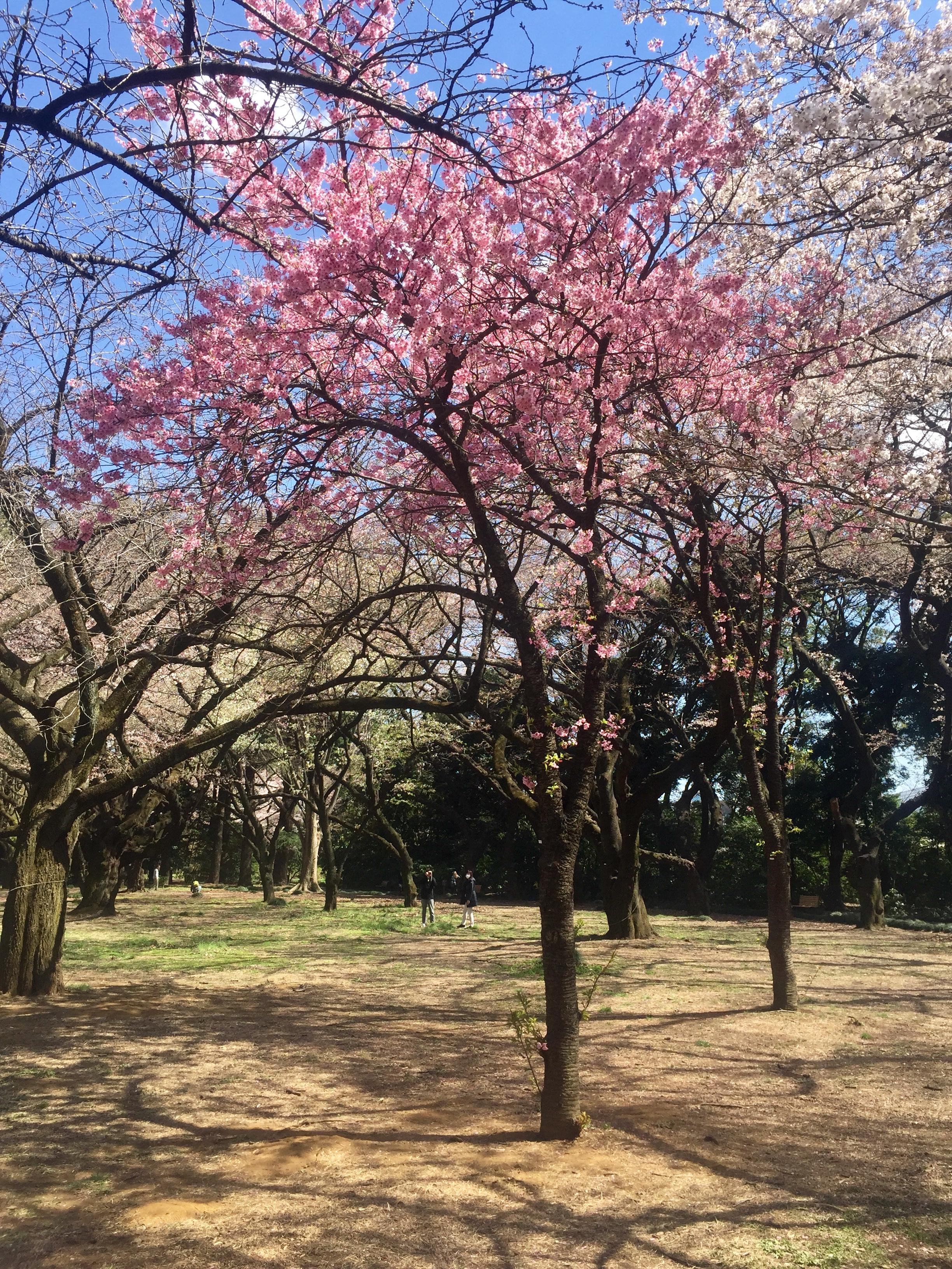 shinjuku cherry blossoms tokyo 2019.jpg