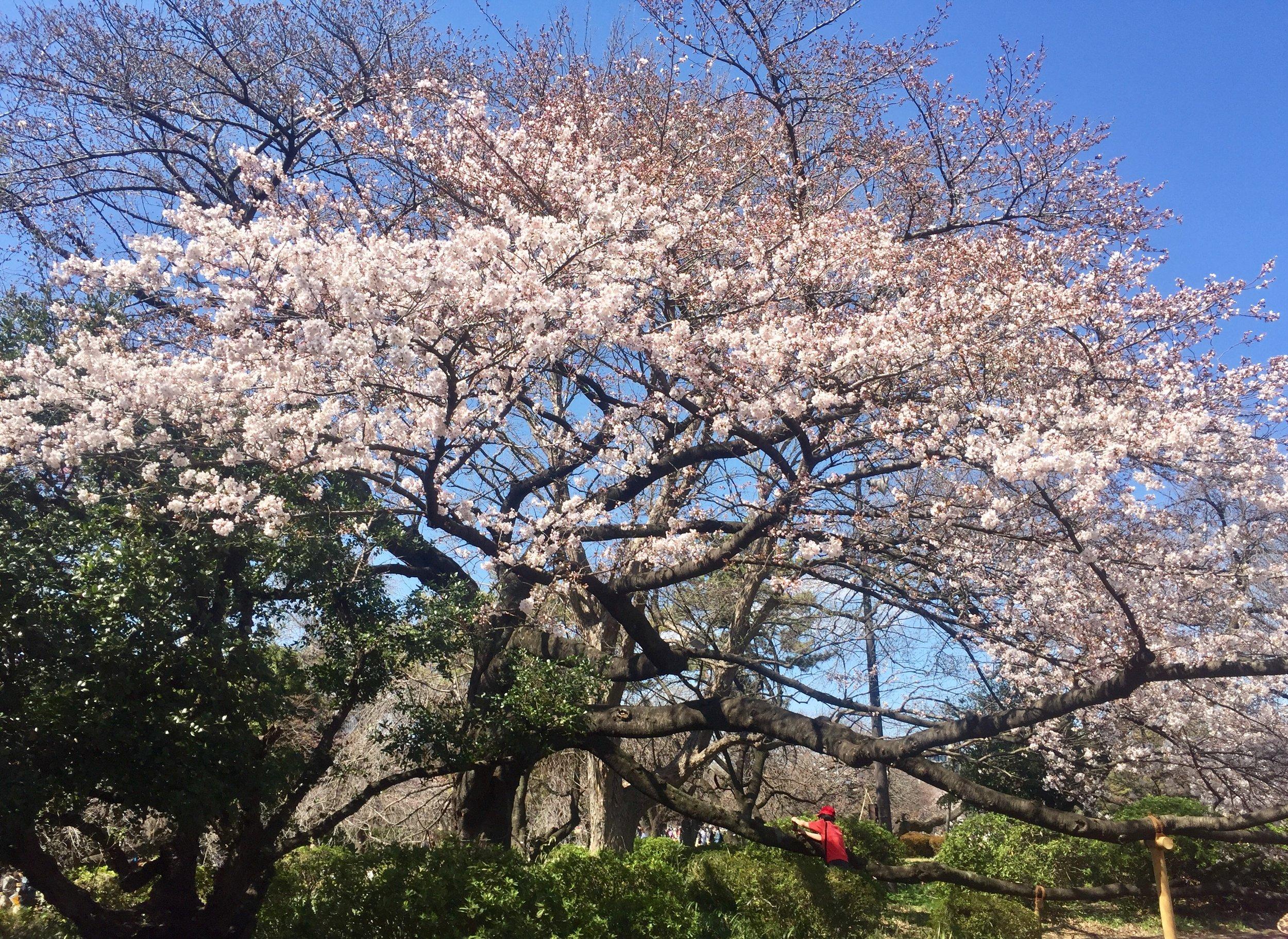 shinjuku tokyo amazing cherry blossoms.jpg