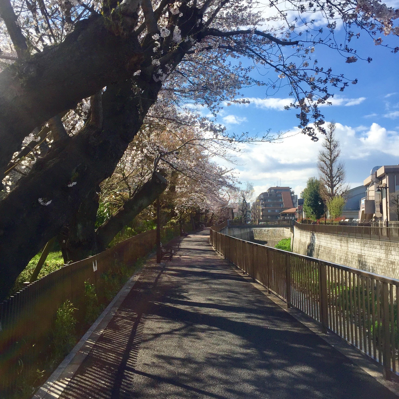 shin koenji cherry blossoms tokyo japan 2019.jpg