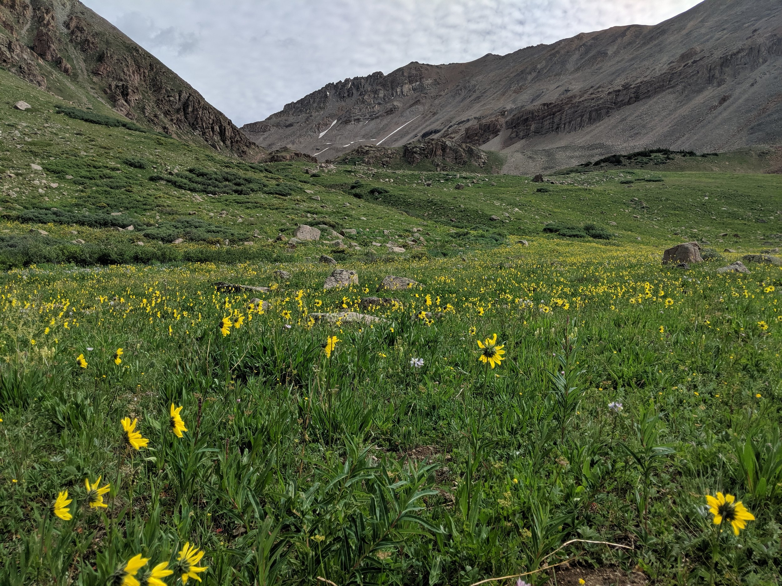 mountain sunflowers leadville colorado becky jewell.jpg