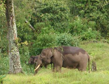 Harris in Bukit Kabar with female elephants