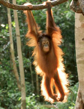 Orangutan in forest of Borneo  (photo by Jay Ullai)