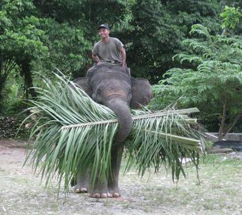 Bull carrying fodder