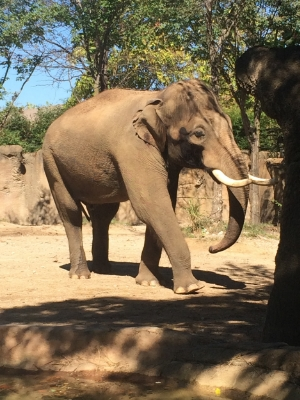 23 year old Asian bull, Raja in full musth and listening intently during a training session with keepers