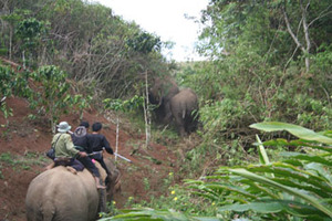 CRU elephants herding wild elephants out of HEC area